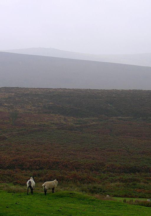 dartmoor sheep in the wild