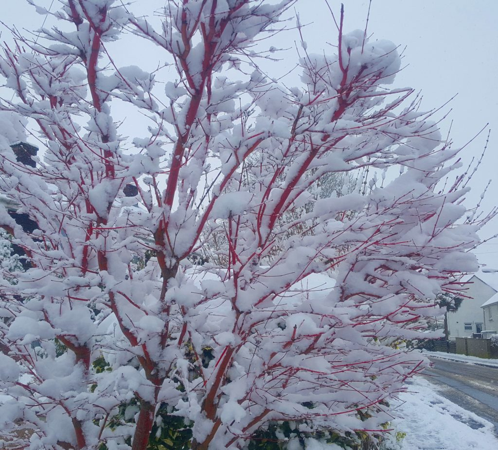Bright red stems on a bush laden with snow