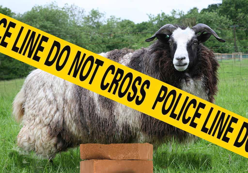 Jacob sheep up on bricks after theft