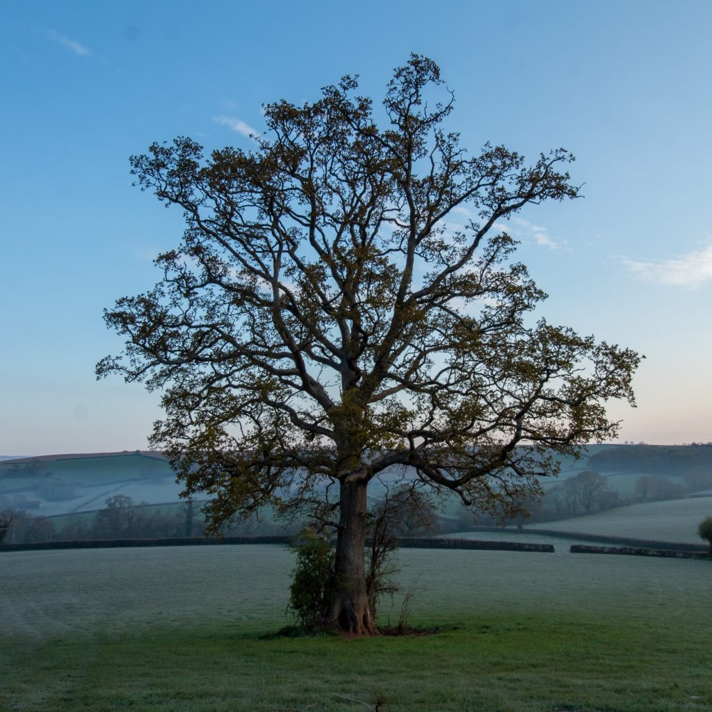 Very large old oak tree stands alone in a field
