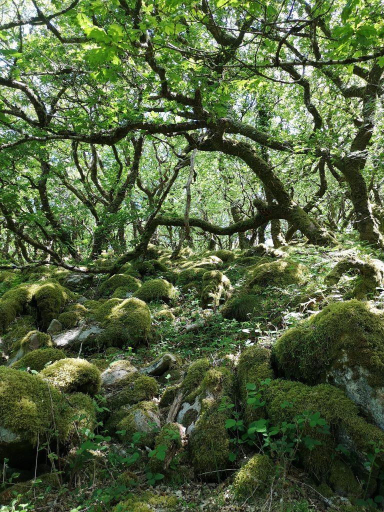 Wistman's wood - Temperate Rainforest Celtic Rainforest