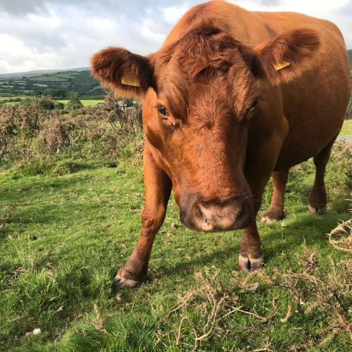 brown cow on Dartmoor