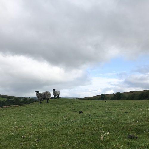 Sheep on mound square
